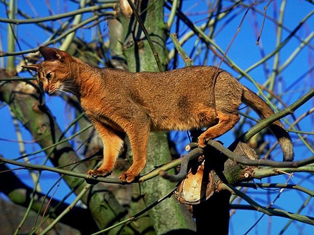 Resultado de imagen de gato abisinio